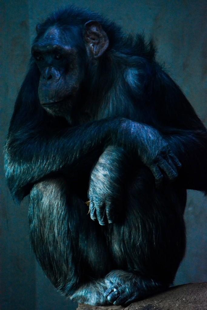 Alte Schimpansin Kopenhagen Zoo