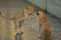 Baby Lions playing on icy ground Kopenhagen Zoo