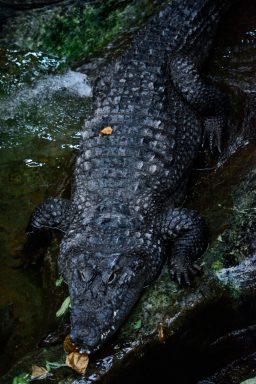 Crocodile Kopenhagen Zoo