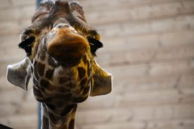 Giraffe Kopenhagen Zoo