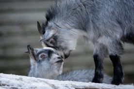 Goats kissing Kopenhagen Zoo