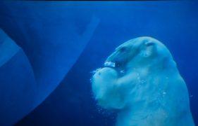 Ice Bear diving Kopenhagen Zoo
