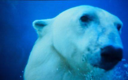 Ice Bear diving up close Kopenhagen Zoo