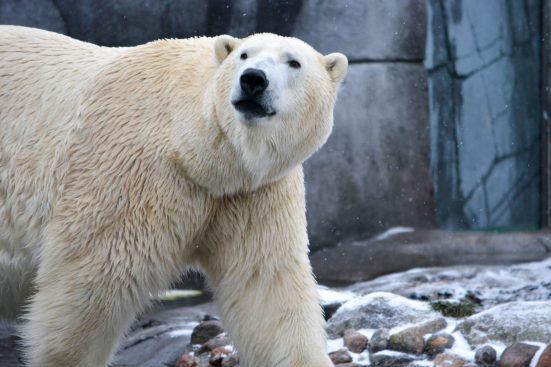 Ice Bear Kopenhagen Zoo