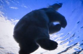 Ice Bear swimming above us Kopenhagen Zoo