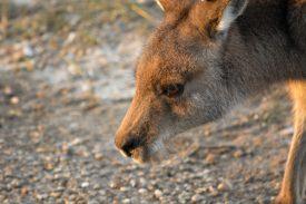 Kaenguru crossing Kopenhagen Zoo