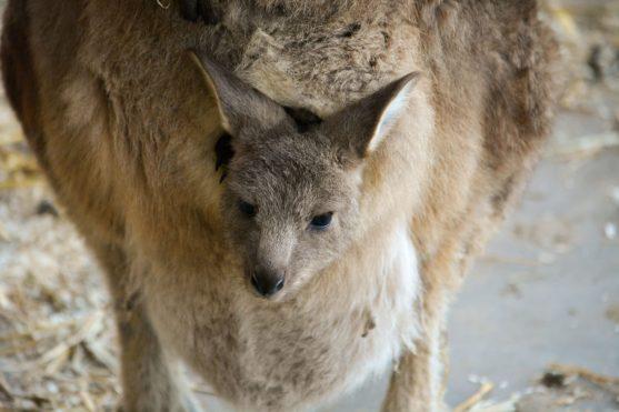 Känguru Baby Kopenhagen Zoo