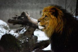 Lion in the snow Kopenhagen Zoo