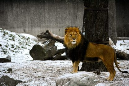 Lion Kopenhagen Zoo