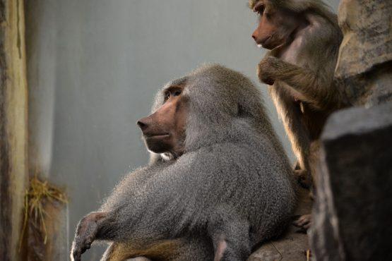 Paviane Kopenhagen Zoo