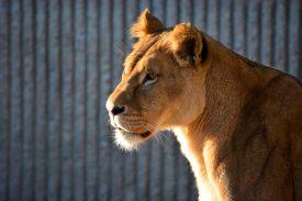 Proud Lioness watching her kittens play Kopenhagen Zoo