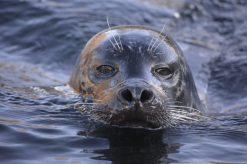 Seal Kopenhagen Zoo