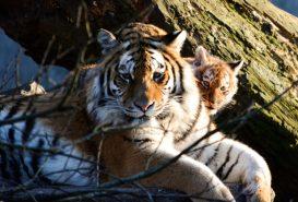 Tiger with Baby in the sun Kopenhagen Zoo